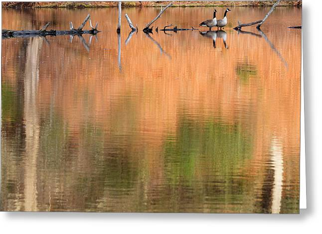 Goose Greeting Cards - Spring Geese Square Greeting Card by Bill  Wakeley