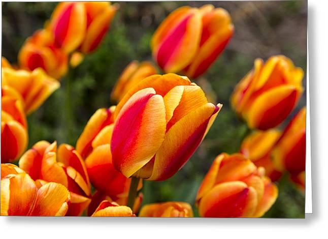 Niel Morley Greeting Cards - Spring Glow Greeting Card by Niel Morley