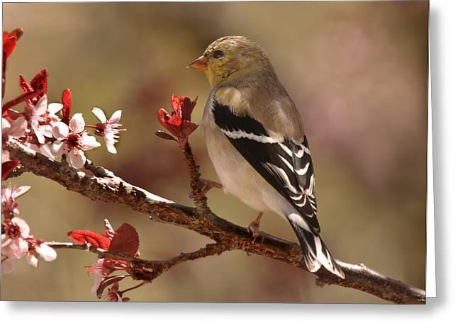 Flowering Branch Greeting Cards - Spring Gold Finch Greeting Card by Lara Ellis