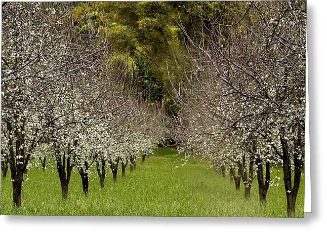 Nut Trees Greeting Cards - Spring Has Sprung Greeting Card by Bill Gallagher