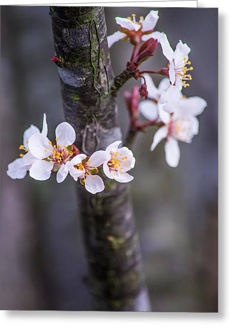 Old And New Photographs Greeting Cards - Spring Has Sprung Greeting Card by Shelby  Young