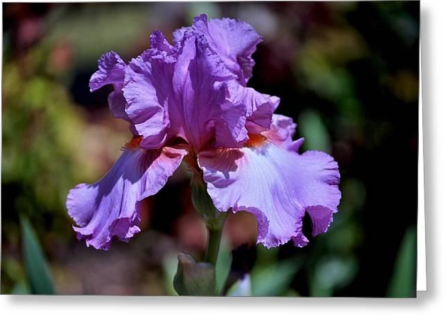 Hallmarks Greeting Cards - Spring Iris Bloom Greeting Card by Kristina Deane