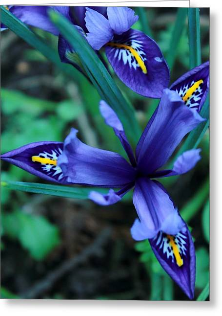 Spring Iris Greeting Card by Theresa Selley