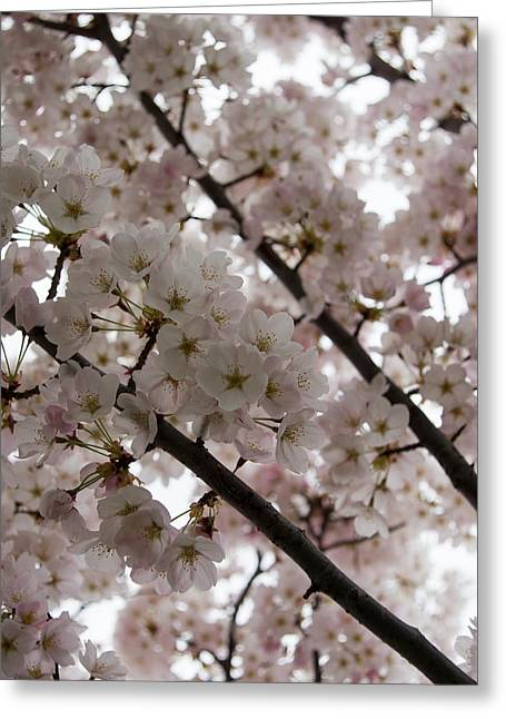 March Greeting Cards - Spring is Beautiful - A Cloud of Pastel Pink Blossoms Greeting Card by Georgia Mizuleva