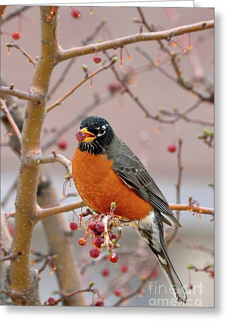 American Robin Greeting Cards - Spring is Coming Greeting Card by Betty LaRue