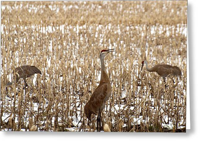 Sandhill Cranes Greeting Cards - Spring Is On The Way Greeting Card by Thomas Young