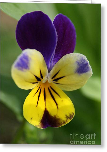 Johnny Jump Up Pansy Greeting Cards - Spring Journey  Greeting Card by Neal  Eslinger