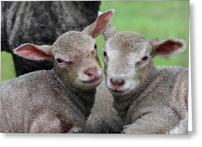 Spring Lambs Greeting Card by Pete Hemington