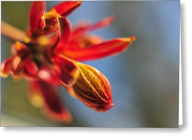 Landscape Iphone Phone Case Greeting Cards - Spring Maple Tree Bud Greeting Card by Terry DeLuco