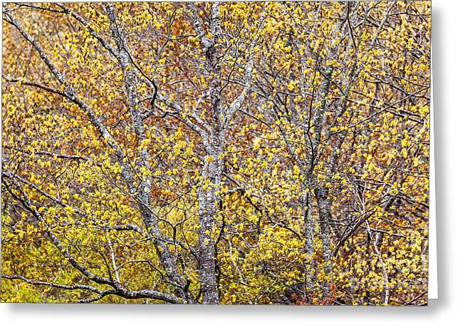 Spring In Maine Greeting Cards - Spring Maples in Acadia Greeting Card by Susan Cole Kelly