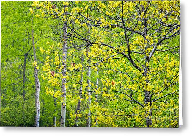 Spring In Maine Greeting Cards - Spring Oaks in Acadia Greeting Card by Susan Cole Kelly