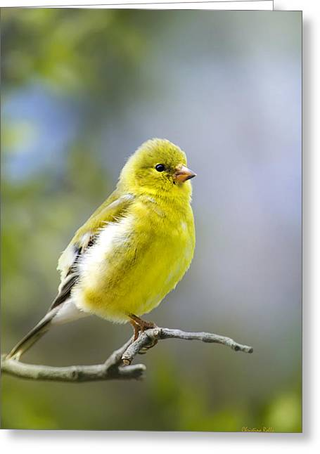 American Goldfinch Greeting Cards - Spring Peep - American Goldfinch Greeting Card by Christina Rollo