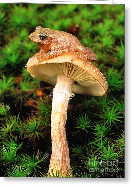 Toadstools Greeting Cards - Spring Peeper On Mushroom Greeting Card by Gary Meszaros
