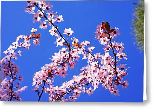 Popular Flower Art Greeting Cards - Spring Pink Glowing Blossoms Sunlit Blue Sky Greeting Card by Baslee Troutman