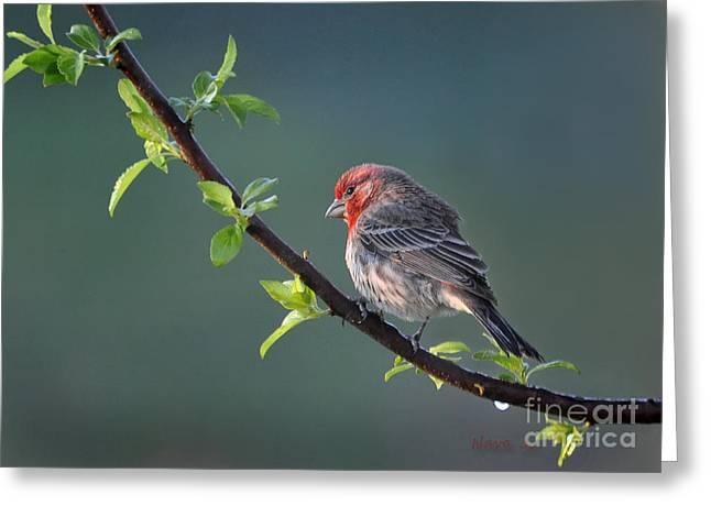 Nava Jo Thompson Greeting Cards - Spring Purple Finch Greeting Card by Nava  Thompson