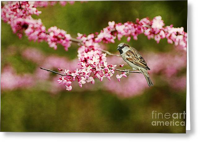 Judas Greeting Cards - Spring Redbud Greeting Card by Darren Fisher