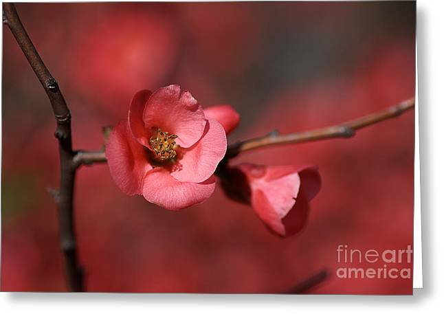 Joy Watson Greeting Cards - Spring Richness - Flowering Quince Greeting Card by Joy Watson