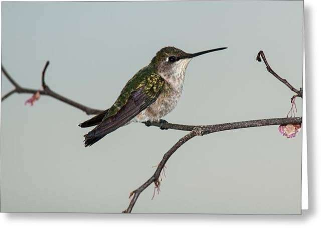 Archilochus Colubris Greeting Cards - Spring Ruby Throated Hummingbird 2014 1 Greeting Card by Lara Ellis