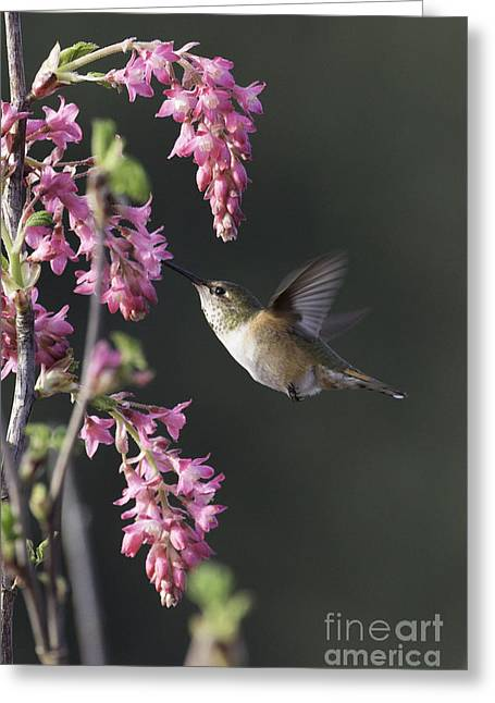Tim Moore Greeting Cards - Spring Rufous Greeting Card by Tim Moore