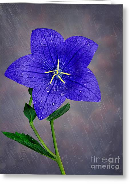 Balloon Flower Greeting Cards - Spring Showers Greeting Card by Boyd  E Van der Laan