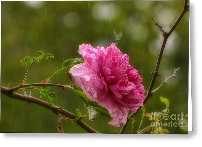 Dripping Rose Greeting Cards - Spring Showers Greeting Card by Peggy J Hughes