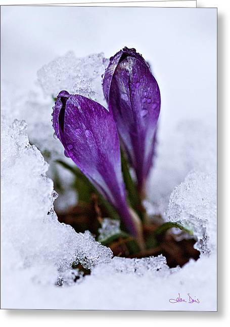 Rain Droplet Photographs Greeting Cards - Spring Snow Greeting Card by Joan Davis