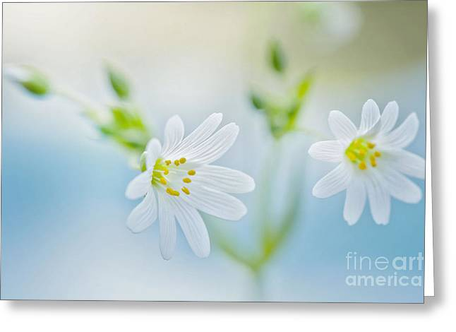 Close Focus Floral Greeting Cards - Spring Stitchwort Greeting Card by Jacky Parker