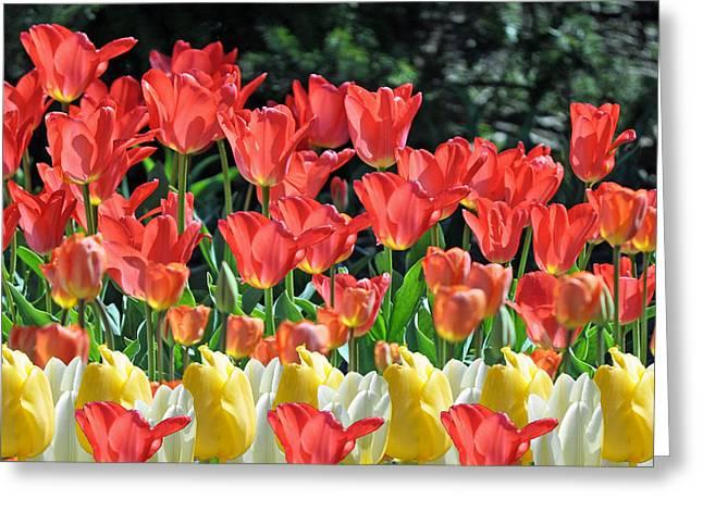 Tulip Tree Greeting Cards - Spring Surprise  Greeting Card by Debra  Miller