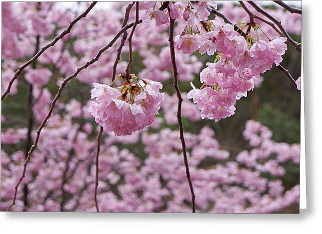 Popular Flower Art Greeting Cards - Spring Tree Flower Blossoms Art Greeting Card by Baslee Troutman
