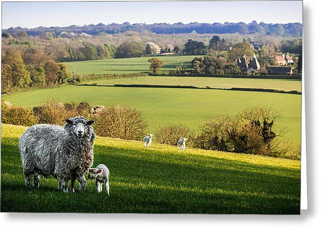 Sheep Photographs Greeting Cards - Spring View Greeting Card by Ian Hufton