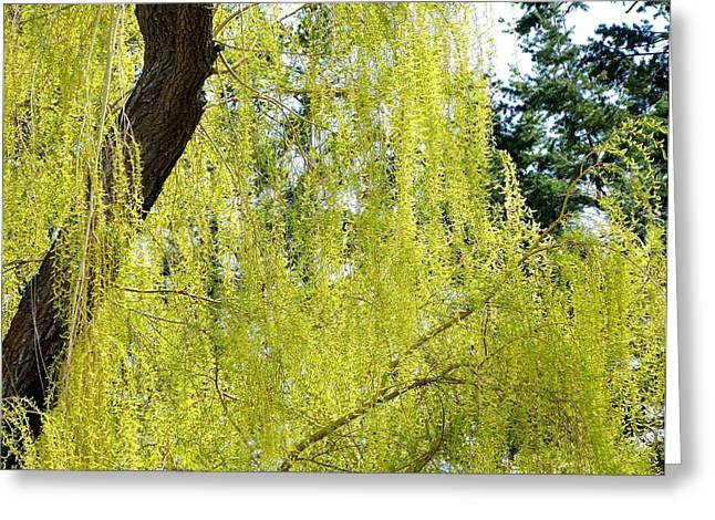 Spring Weeping Willow Greeting Card by Will Borden