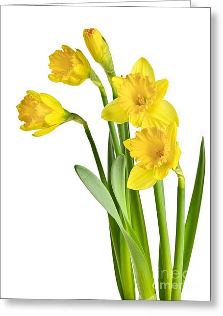 White Photographs Greeting Cards - Spring yellow daffodils Greeting Card by Elena Elisseeva