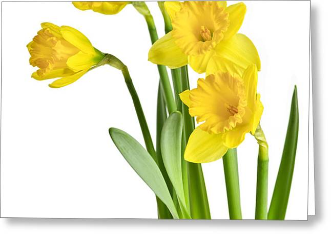 Spring yellow daffodils Greeting Card by Elena Elisseeva