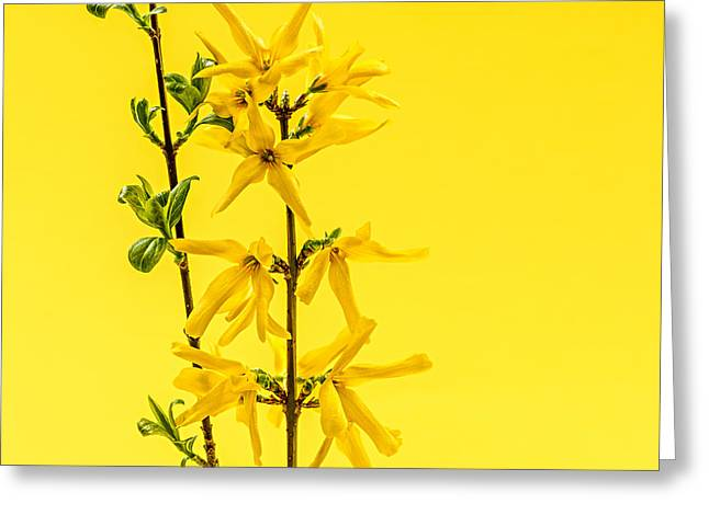 Green Leafs Greeting Cards - Spring yellow forsythia Greeting Card by Elena Elisseeva
