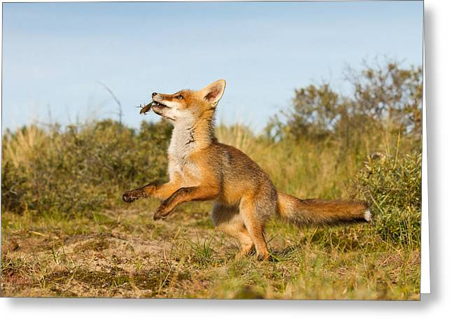 Suckling Greeting Cards - Spring -Young Fox Kit Playing with moss Greeting Card by Roeselien Raimond