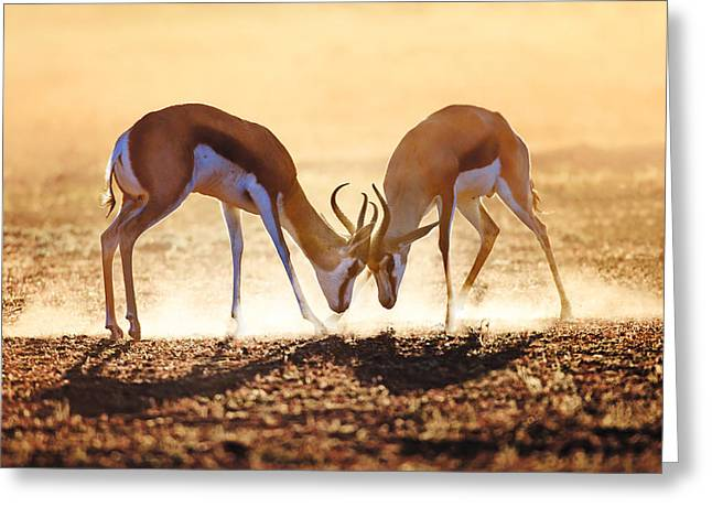 Dual Greeting Cards - Springbok dual in dust Greeting Card by Johan Swanepoel