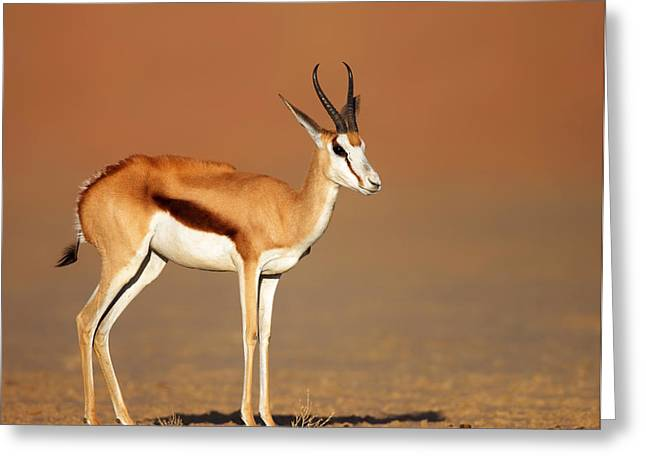 Sand Stand Greeting Cards - Springbok On Sandy Desert Plains Greeting Card by Johan Swanepoel