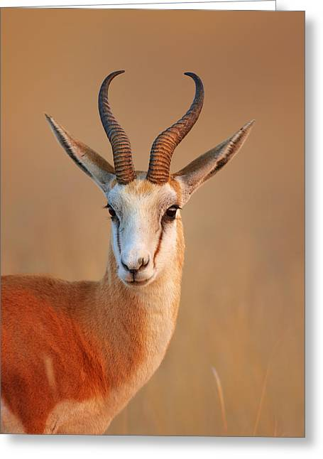 Outdoor Portrait Greeting Cards - Springbok  portrait Greeting Card by Johan Swanepoel