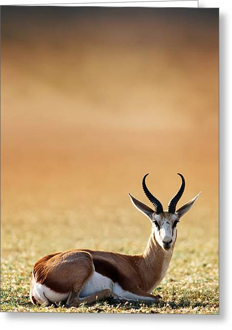 Outdoor Images Greeting Cards - Springbok resting on green desert grass Greeting Card by Johan Swanepoel