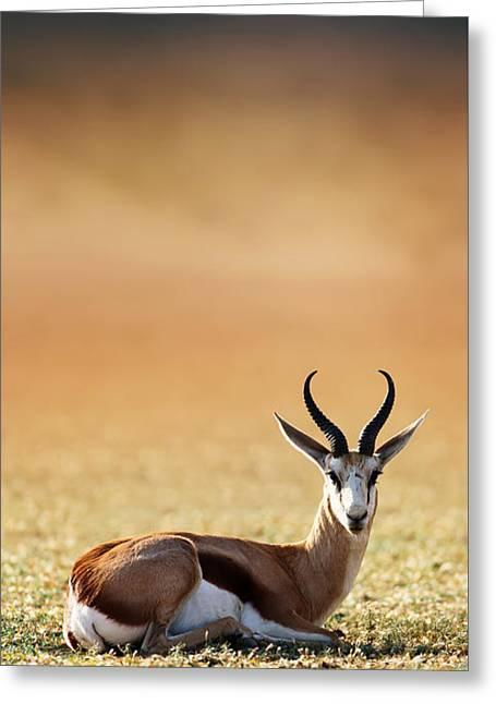 Springbok Resting On Green Desert Grass Greeting Card by Johan Swanepoel