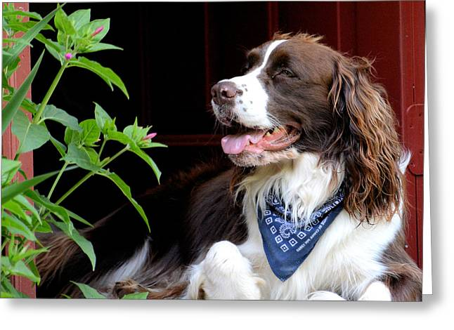 Dog Pics Greeting Cards - Springer Greeting Card by Todd Hostetter