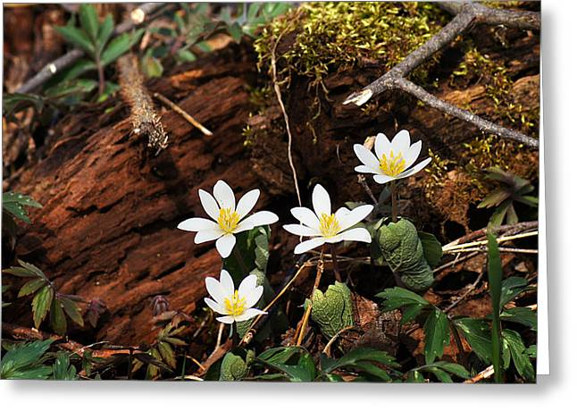 Wisconsin Wildflowers Greeting Cards - Springs First Blush Greeting Card by Bill Pevlor