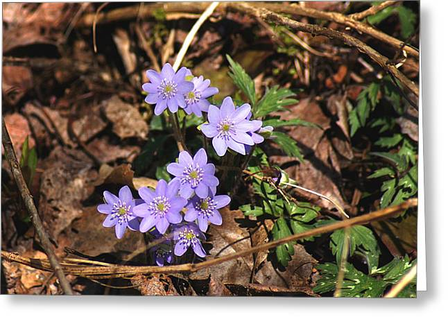 Wisconsin Wildflowers Greeting Cards - Springs First Blush II Greeting Card by Bill Pevlor