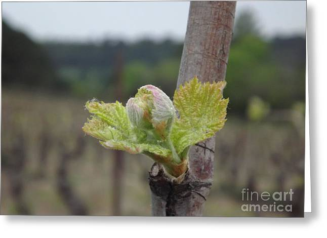 Languedoc Greeting Cards - Spring in the Vineyard Greeting Card by France  Art
