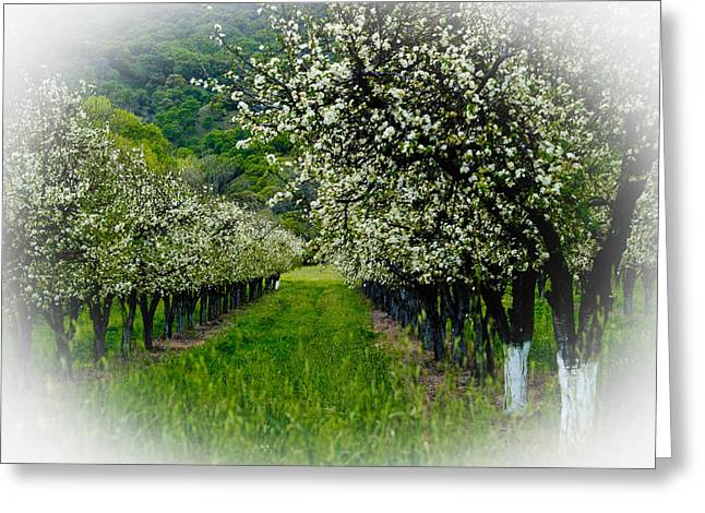 Bill Galagher Photography Greeting Cards - Springtime in the Orchard Greeting Card by Bill Gallagher