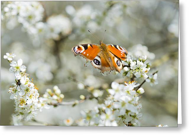 British Portraits Greeting Cards - Springtime Peacock Greeting Card by Steven Poulton