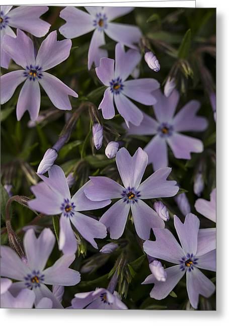 Purple Phlox Greeting Cards - Springtime Phlox Greeting Card by Andrew Pacheco