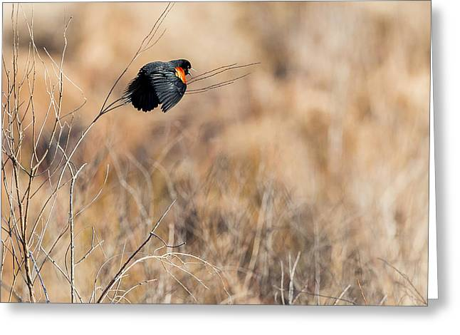 Blackbird Greeting Cards - Springtime Song Greeting Card by Bill  Wakeley
