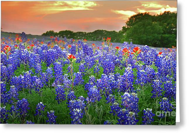 Wild Flower Greeting Cards - Springtime Sunset in Texas - Texas Bluebonnet wildflowers landscape flowers paintbrush Greeting Card by Jon Holiday