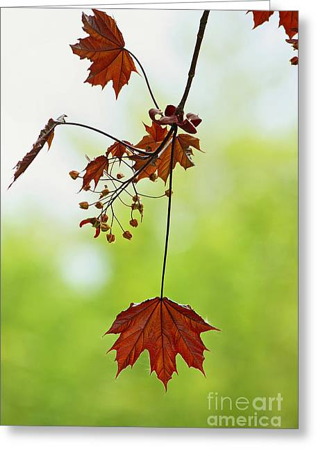 Entspannung Greeting Cards - Springtime Symphony Of Leaves Greeting Card by Meleah Fotografie